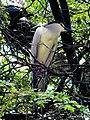 Crowned Night Heron (9348619525).jpg