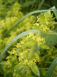 Cruciata laevipes top