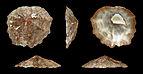 Crucibulum scutellatum 01.JPG