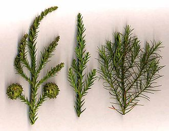 Cryptomeria - Cryptomeria japonica: (left) shoot with mature cones and immature male cones at top; (centre) adult foliage shoot; (right) juvenile foliage shoot