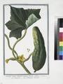 Cucumis sativus, vulgaris, maturo fructu subluteo - Cetriuolo - Cocombre ordinaire. (Cucumber) (NYPL b14444147-1124991).tiff