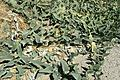Cucurbita foetidissima kz1.jpg