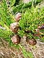 Cupressus pygmaea foliage cones.jpg
