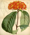 Curtis's Botanical Magazine, Plate 4325 (Volume 73, 1847).png