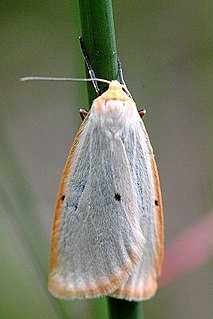 <i>Cybosia</i> Genus and species of moth