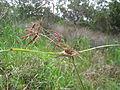 Cyperus congestus enorme (4243411041).jpg