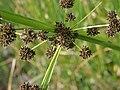 Cyperus difformis P6100113.jpg