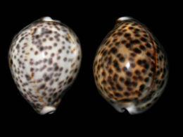 Résultat de l'image pour coquillage tigrine