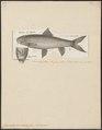 Cyprinus capoeta - 1788 - Print - Iconographia Zoologica - Special Collections University of Amsterdam - UBA01 IZ15000093.tif