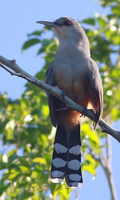 DRbirds Hispaniolan-Lizard Cuckoo 2c.jpg