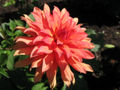 Dahlia Autumn Fairy.jpg