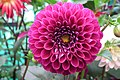 Dahlia at Lalbagh flowershow aug2011 7040.JPG
