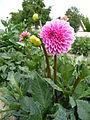 Dahlie 'Pink Sylvia' Broekhof.JPG