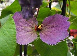 Dalechampia - Dalechampia aristolochiifolia