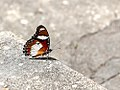 Danaid Eggfly (40723757651).jpg