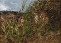 Dankvart Dreyer - Vildtvoksende orkidéer.png