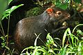 Dasyprocta leporina in Dominica-2011 11 05 0161.jpg