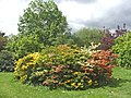 Deciduous azaleas in garden at Forty Hall, Enfield - geograph.org.uk - 731155.jpg