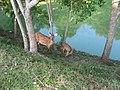 Deers - panoramio - Nagono (1).jpg