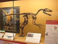 Deinonychus antirrhopus Exhibit Museum of Natural History.JPG