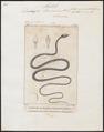 Dendrophis leiocercus - 1700-1880 - Print - Iconographia Zoologica - Special Collections University of Amsterdam - UBA01 IZ12000113.tif