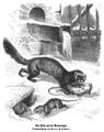 Der Iltis auf der Rattenjagd.png