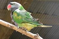 Derbyan Parakeet, Psittacula derbiana Pengo