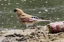 Desert Finch.jpg