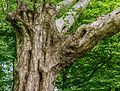 Detail van een oude berk (Betula ermanii). Locatie Hortus Haren 03.jpg