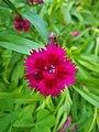 Dianthus barbatus 153938.jpg