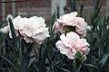 Dianthus caryophyllus CFPC Malea 3zz.jpg