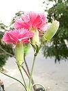 Dianthus schabaud