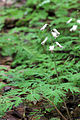 Dicentra canadensis 5496398.jpg