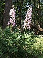 Dictamnus albus sl44.jpg