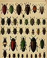 Die exotischen Käfer in Wort und Bild (1908) (20726767219).jpg