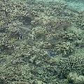 Different fish swimming at the seabottom of Fiji (32265009432).jpg