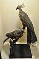 Diorama - Opisthocomus hoatzin - Zoological Gallery - Indian Museum - Kolkata 2014-04-04 4417.JPG