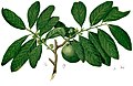 Diospyros nigra Blanco2.372-cropped.jpg