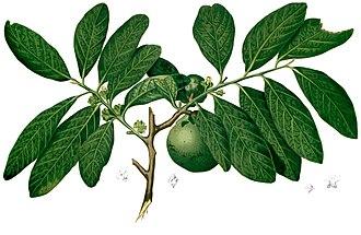 Diospyros nigra - Image: Diospyros nigra Blanco 2.372 cropped