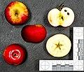 Discovery (apple) jm122103.jpg