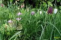 Dog's-tooth violet and snake's-head fritillary (SG) (33524308830).jpg