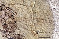 Dolichoderus antiquus UCM17000 wing.jpg