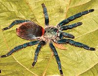 Dolichothele diamantinensis female.jpg