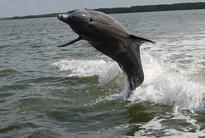 Dolphin playing in surf, Everglades National Park - panoramio.jpg