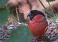 Domherre Eurasian Bullfinch (20324485416).jpg