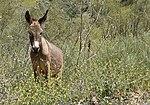 Donkey in Dana Reserve.jpg