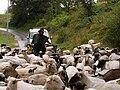 Donovaly, ovce 03.jpg