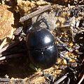 Dor Beetle. Geotrupes sp^, Scarabaeidae - Flickr - gailhampshire.jpg
