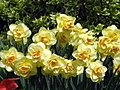 Double Daffs! (4546894252).jpg