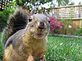 Douglas Squirrel.jpg